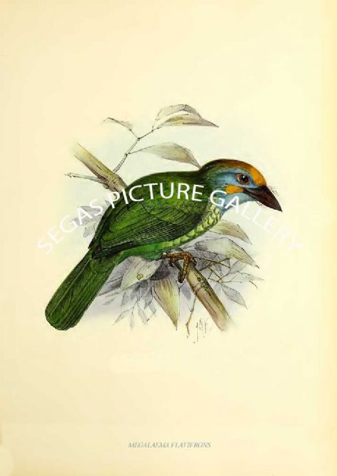 Fine art print of the MEGALAEMA FLAVIFRONS by J G Keulemans (1871)